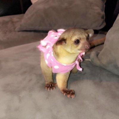 chihuahua baby zu verschenken