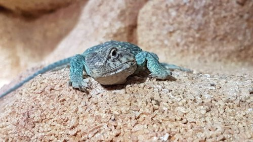reptile classifieds, classified ads of reptiles, amphibians